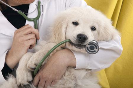 Применение ацелизина после оперативного лечения кишечной непроходимости собак