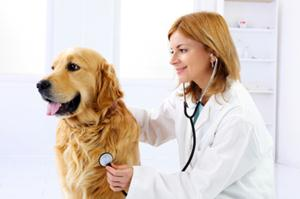 Veterinarian doctor making a checkup of a cute golden retriever dog.