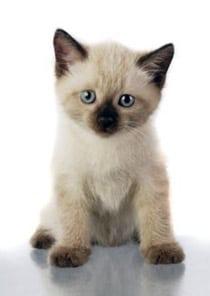 Siamese_kitten