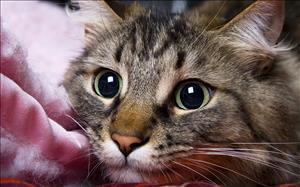 Особенности патогенеза и лечении болезней пародонта у домашних кошек