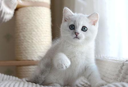 Характер шиншиллы кошки