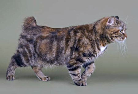 Мэнский кот порода описание