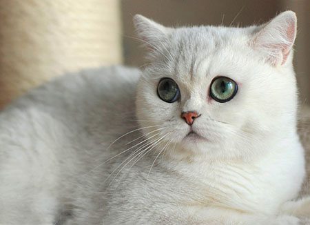 Шиншилла кошка описание породы