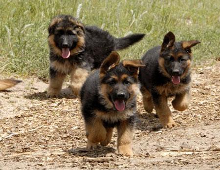 Правильный уход за щенком немецкой овчарки