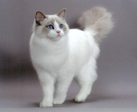 Рэгдолл: кошка с душой собаки