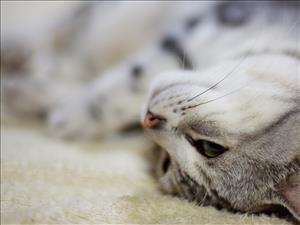 Динамика биохимических показателей сыворотки крови кошек при лечении офтальмологии - гелем