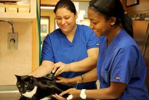 Хирургическая инфекция у котов