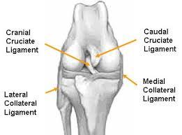 Особенности лейкоцитарной реакции по костно-суставной патологии у собак