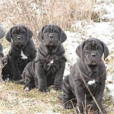 Липидограмма сыворотки крови собак в норме и при вторичной гиперлипидемии