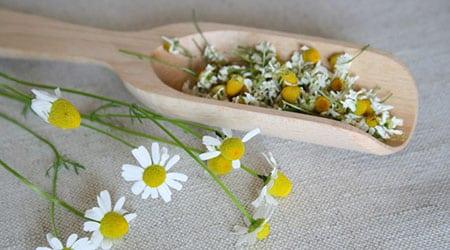 Фармакологические свойства, биологические особенности и технология выращивания ромашки