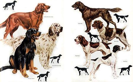 Основные виды охотничьих собак