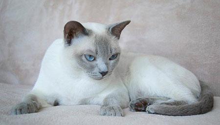 Тонкинская или сиамская кошка