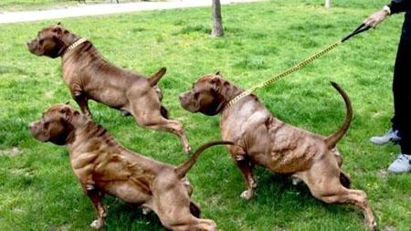 Самые мускулистые породы собак